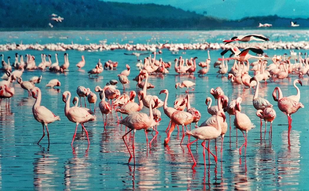 Flamencos en Lago Nakuru