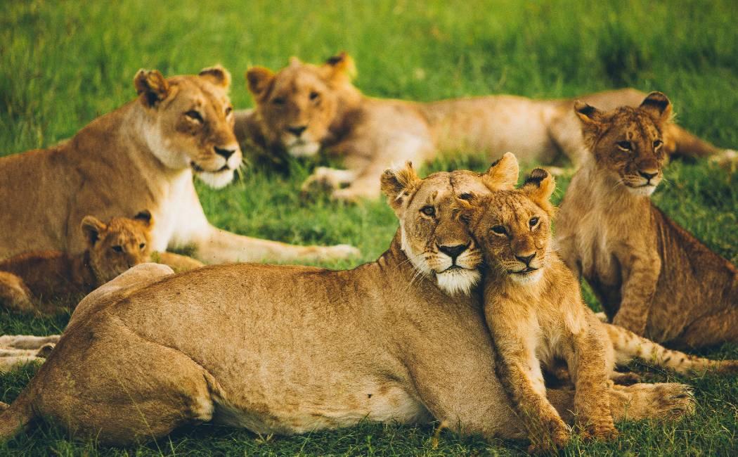 leonas Masai Mara. Safari en Kenia