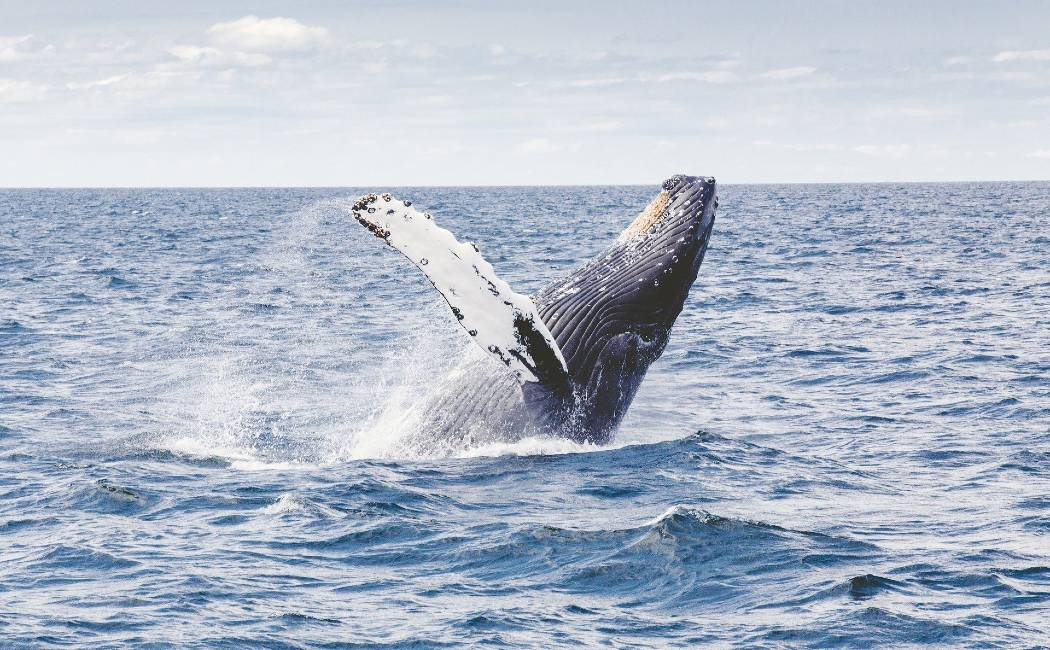 ballena jorobada. Viaje a Costa Rica