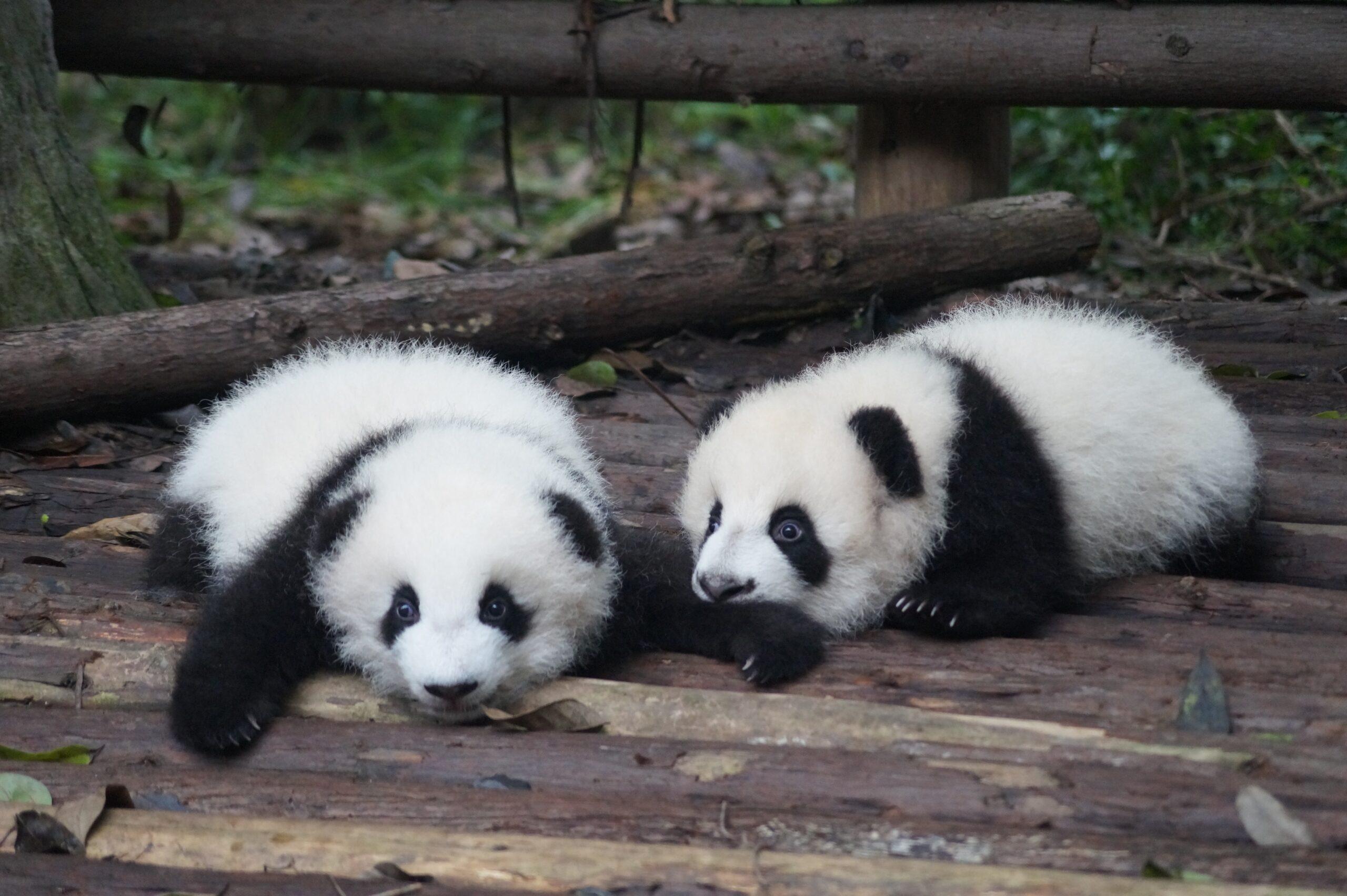 Pandas en la reserva nacional China, Chengdu