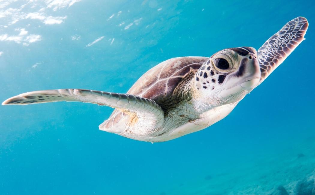 tortuga verde viajar a riviera maya